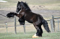 SSFR Bookers, 2015 Gypsy Vanner Horse colt