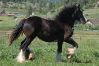 SSFR Chloe, 2009 Gypsy Vanner Horse filly