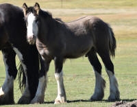 SSFR Lucky Number Seven, 2015 Gypsy Vanner Horse colt