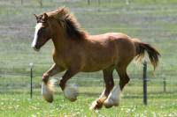 SSFR Queen of Diamonds, 2015 Gypsy Vanner Horse filly