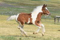 SSFR Quick Draw, 2016 Gypsy Vanner Horse colt