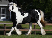 WR Royal Safari, 2010 Gypsy Vanner Horse mare