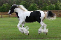 SGV Sahara's Reflection, 2015 Gypsy Vanner Horse filly