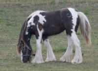 WW Saileigh, 2014 Gypsy Vanner Horse filly