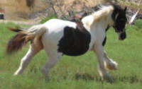 Sanas, imported Gypsy Vanner Horse mare