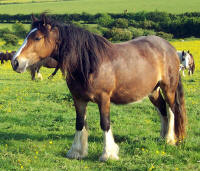 Savannah Bay, 2005 imported Gypsy Vanner Horse mare