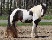 Savannah, imported 2002 Gypsy Vanner Horse mare