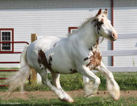 Scarlett, 2004 imported Gypsy Vanner Horse mare