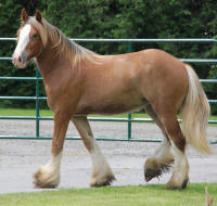 Kastle Rock's Scarlett Sunset, 2012 Gypsy Vanner Horse filly