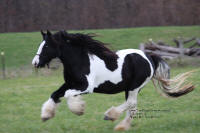 Sedona, 2005 imported Gypsy Vanner Horse mare