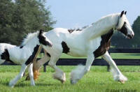 Sera and Sanibel, Gypsy Vanner Horse mare and 2006 filly