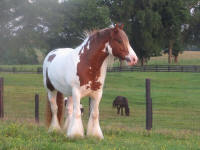Serendipity of Mill Cave, 2011 Gypsy Vanner Horse mare