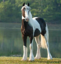 Divo's Serenity Rose, 2013 Gypsy Vanner Horse filly