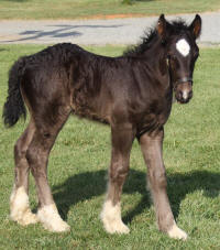 Shadow's Anniversary Oliver, 2014 Gypsy Vanner Horse colt