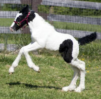 Shadow Dancer, 2010 Gypsy Vanner Horse colt