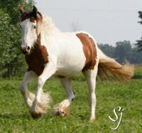 RGR Shameless Obsession, 2013 Gypsy Vanner Horse filly