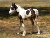 Shampoo filly, 2010 Gypsy Vanner Horse foal