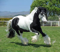 Blue Mountain Tiger, 2008 Gypsy Vanner Horse stallion