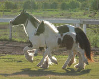 Cici's Shane, 1998 imported Gypsy Vanner Horse mare