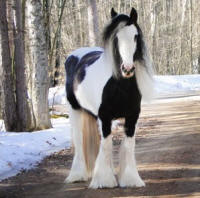 Feathered Gold Shanti, 2009 Gypsy Vanner Horse mare