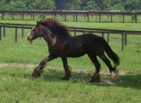 VVF Sheeba, 2008 Gypsy Vanner Horse filly