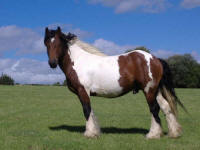 Shogun colt, 2004 Gypsy Vanner Horse stallion in the UK