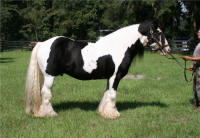 Shogun, imported Gypsy Vanner Horse stallion