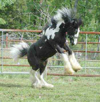 Call Me Sir, Gypsy Vanner Horse colt
