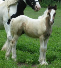 N'Co So Hot I Sizzle, 2009 Gypsy Vanner Horse colt
