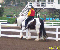 Sliabh Cooli, imported Gypsy Vanner Horse gelding