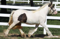 Ceo's Saphhire Snow Raven, 2013 Gypsy Vanner Horse filly
