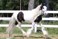 Snowdrift, 2008 imported Gypsy Vanner Horse filly