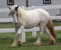 Snowdrop, 2008 imported Gypsy Vanner Horse filly