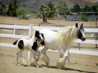 Gold Rush's Solaria, 2009 Gypsy vanner Horse filly
