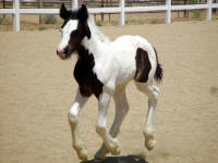 Solaria, 2009 Gypsy Vanner Horse filly