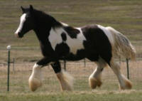 SSFR Something Special, 2014 Gypsy Vanner Horse filly