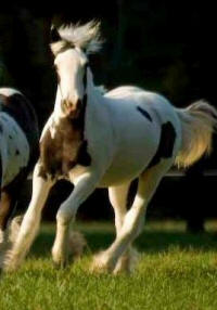 GVR Sophie, 2007 Gypsy Vanner Horse filly