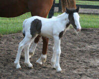 Sparkler, 2006 Gypsy Vanner Horse filly