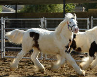 DJ's Imperial Lenny, 2008 Gypsy Vanner Horse colt