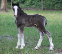 Bubbles Colt, 2010 Gypsy Vanner Horse foal