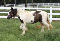 Splish Splash, 2008 Gypsy Vanner Horse filly