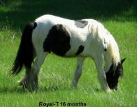Lake Ridge Royal T, 2006 Gypsy Vanner Horse gelding