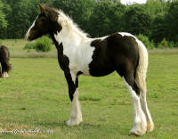 Feathered Gold Spring Breeze, 2014 Gypsy Vanner Horse filly