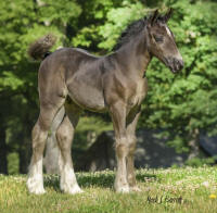 SWF Celestial Star Baby, 2015 Gypsy Vanner Horse filly