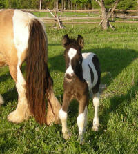 Storm Chaser, 2009 Gypsy Vanner Horse colt