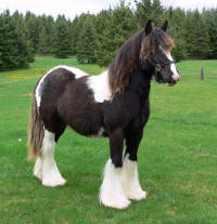 SRS Storm Cloud, 2010 Gypsy Vanner Horse filly
