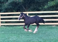 LV The Storm Legacy mare, 2016 Gypsy Vanner Horse filly