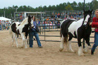 Stormy and Kuchi, Gypsy Vanner Horse colt and mare
