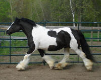 N'Co Front Cover Story, 2006 Gypsy Vanner Horse mare