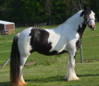 N'Co Mr. Bikers Story The Rapture, 2011 Gypsy Vanner Horse mare